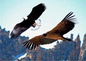 Bald Eagle meets Andean Condor in America (North/South America)